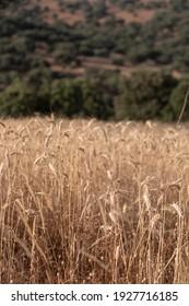 Campo de cereales secos listo para recolección, en el sur de Andalucía España.