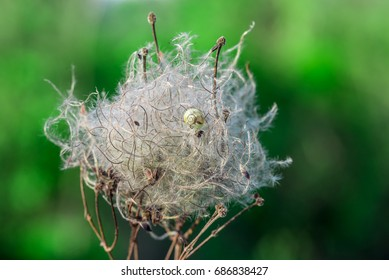 Dry clematis vitalba seed with snail shell