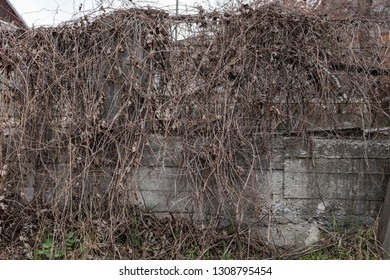 Dry climbing plant. There are a concrete fence with the metal top and a dry creeper.