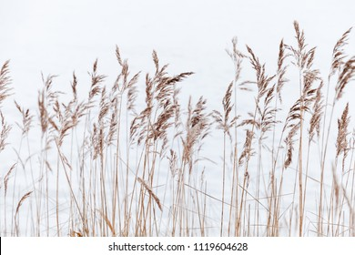 Dry coastal reed over white snow, natural background photo