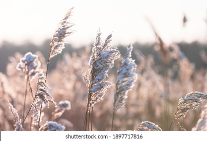 Dry coastal reed with snow in winter season, closeup view with soft selective focus. Abstract natural photo