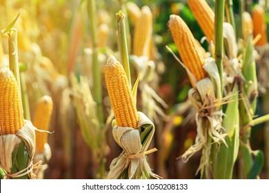 Dry cob of ripe corn on green field at sunlight.