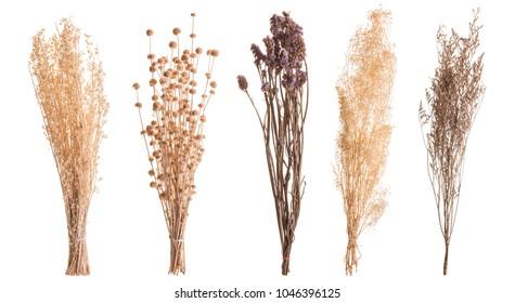 Trockene Grasblume für die Innendekoration. Studioaufnahme und einzeln auf weißem Hintergrund