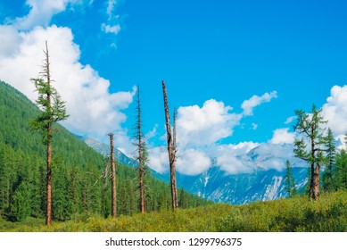 Dry conifer trees on hill on background of giant mountains. Dead trees near edge of huge mountain. Coniferous forest on mountainside in sunny day. Wonderful highland landscape. Amazing mountainscape.
