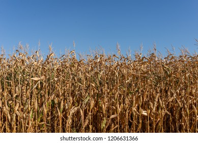 Dry corn field with the blue sky as background