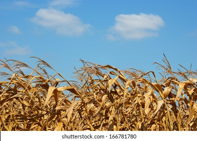 Dry corn field with the blue sky background