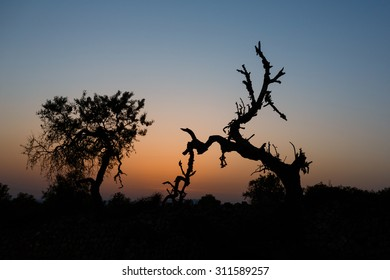 Dry crooked tree at the sunset time