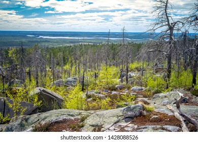 Dry crooked tree in the wasteland on the top of the mountain. Russia. Karelia. Vottovaara mountain after the wildfire.