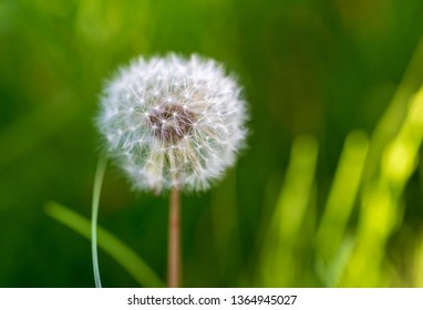 Dry dandelion flower in the steppe in spring.