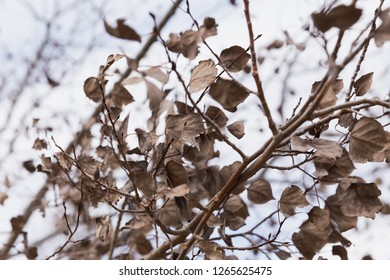 Dry, dead leaves on the branches of a deciduous tree in late fall or winter.