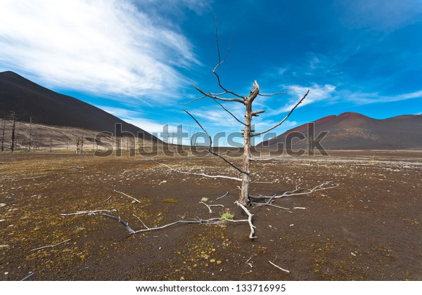 Dry dead trees after volacano eruption in kamchatka, Russia.