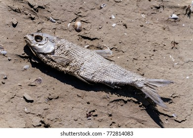 dry to death dead fish on sand