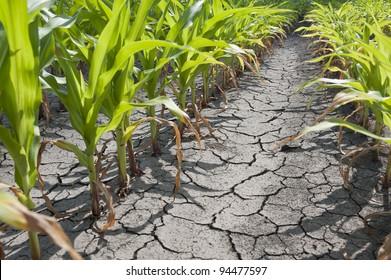 Dry drought stricken farm corn field dirt