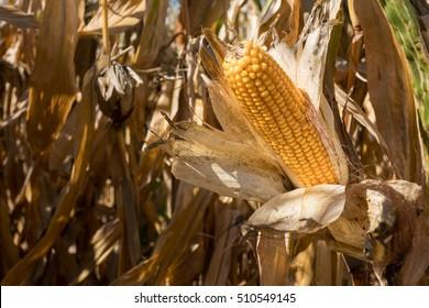 Dry Ear of Corn on Stalk in Field