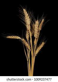 dry ears of wheat grain isolated on black background with clipping path