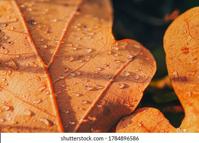 Dry fall leaf texture detail. Abstract background of autumn beauty of forest nature. Fresh dew water drops. Brown oak sheet vein structure. Wet droplet on tree plant close up. Eco flora macro closeup.
