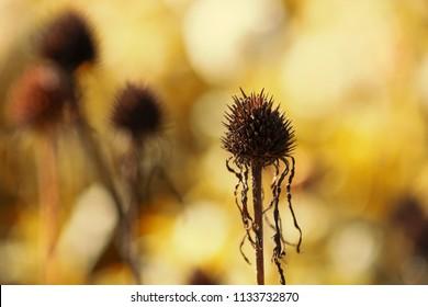 Dry, fallen flower in autumn