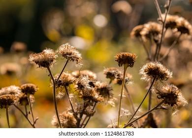 Dry, fallen flowers in autumn
