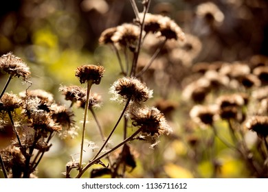 Dry, fallen flowers in the garden