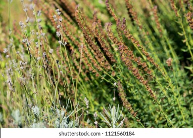 Dry, fallen flowers of lavender and sage