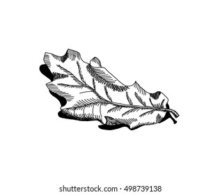 Dry fallen oak leaf. Hand drawing isolated objects on white background