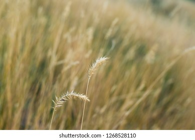 dry fescue grass field at daylight with selective, soft focus on branches