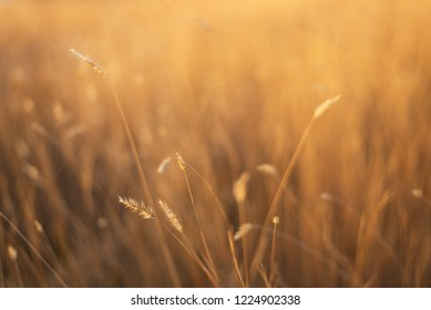 dry fescue grass field at sunset with selective, soft focus on branches