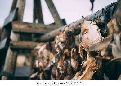 Dry fish heads and skeletons hanging outdoors on the wooden construction in Iceland