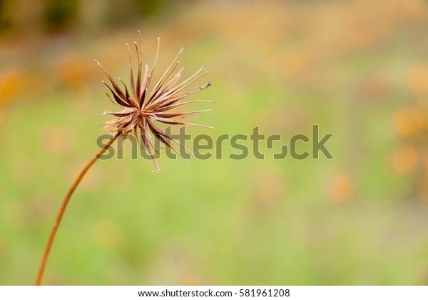 Dry flower, cosmos flower.