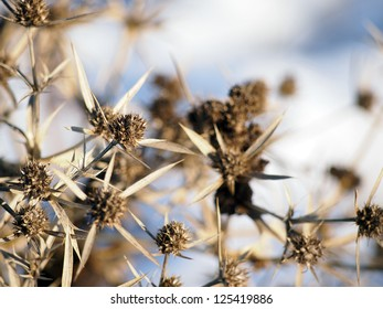 A dry flower of Eryngium campestre, a thistle in Central and Eastern Europe