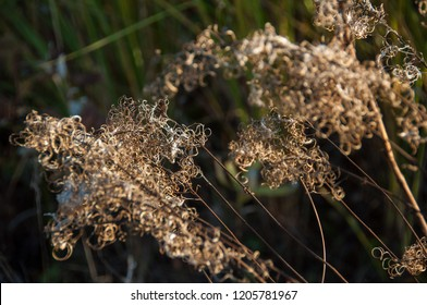 Dry flower of fireweed (Chamerion angustifolium)