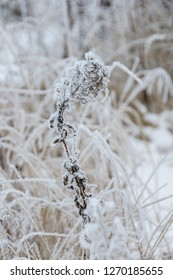 Dry flower of fireweed (Chamerion angustifolium) in winter