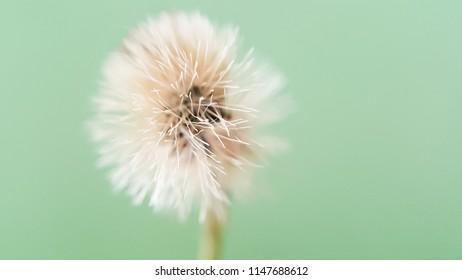 Dry flower grass on a light green background.