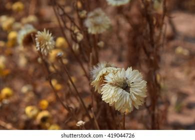 Dry Flowers in Garden