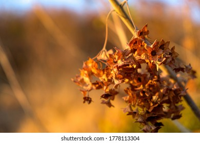Dry flowers and seed pods against a blurred background of Savannah grasses - Mabalingwe National Park, Bela-Bela, Limpopo, South Africa.