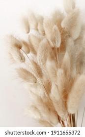 Dry fluffy bunny tails grass Lagurus Ovatus flowers on white background.  Tan pom pom plants backdrop.