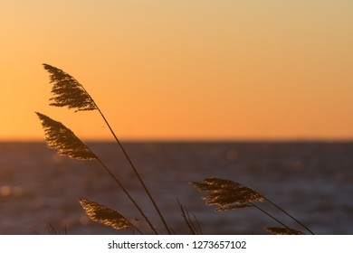 Dry fluffy reed flowers by a golden sky