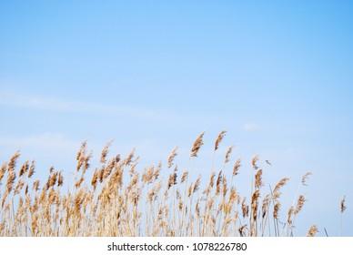 Dry fluffy reeds by a birght blue sky