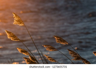 Dry fluffy reeds flowers by sunset