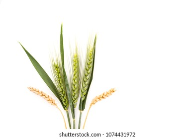 Dry and fresh wheat from above isolated on white background. Agricultural background.