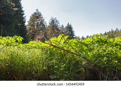 Dry giant hoghweed and new young plants (called Barszcz Sosnkowskiego) on the bank of the river. This dangerous invasive plants can cause serious skin burns, even death in extreme cases.