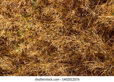 Dry golden brown fallen field grass abstract close up