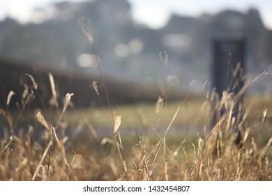 dry golden grass in a field
