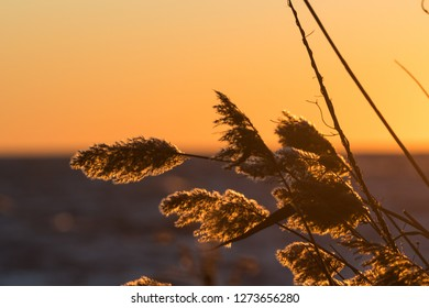 Dry golden reed flowers closeup by sunset