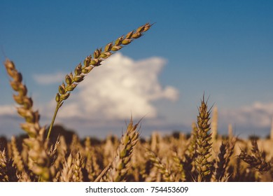 Dry golden wheat spikes on sunny day ready for harvest