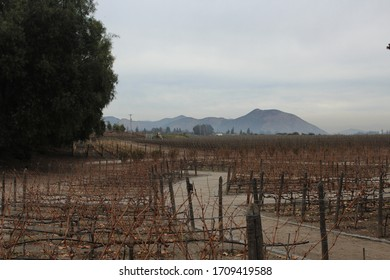 Dry grapevines fields from Chile