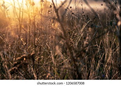 Dry grass in the field at dawn. Silhouette of plants against the background of dawn in summer. Plants on a field in the fog dawn morning
