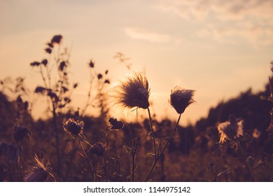 Dry Grass field at sunset or sunrise, grass flowers with rim of sunlight in evening, morning, close up shot