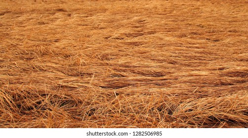 Dry grass at the floodplain lake lies in golden waves