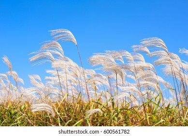 Dry grass flower blowing in the wind, red reed sway in the wind with blue sky background, reed field in autumn.